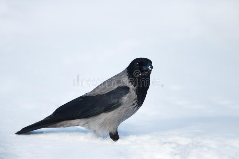 Ciérrese para arriba de un cuervo encapuchado en nieve en invierno imagenes de archivo