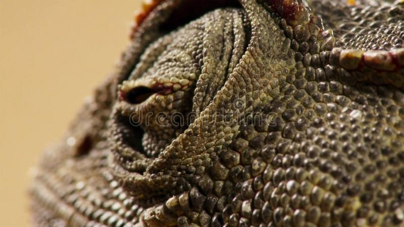 Ciérrese para arriba de un desierto adaptó namaquensis del Chamaeleo del camaleón de Namaqua en Namibia África imágenes de archivo libres de regalías