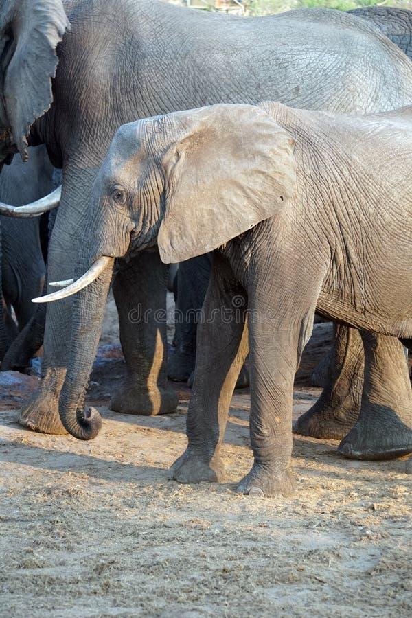 Ciérrese para arriba de un elefante joven en Botswana imágenes de archivo libres de regalías