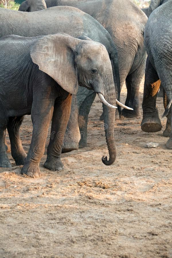 Ciérrese para arriba de un elefante joven en Botswana imagen de archivo