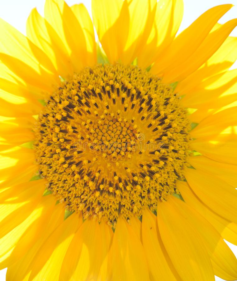 Ciérrese para arriba de un exterior principal del girasol amarillo grande en un día soleado imágenes de archivo libres de regalías