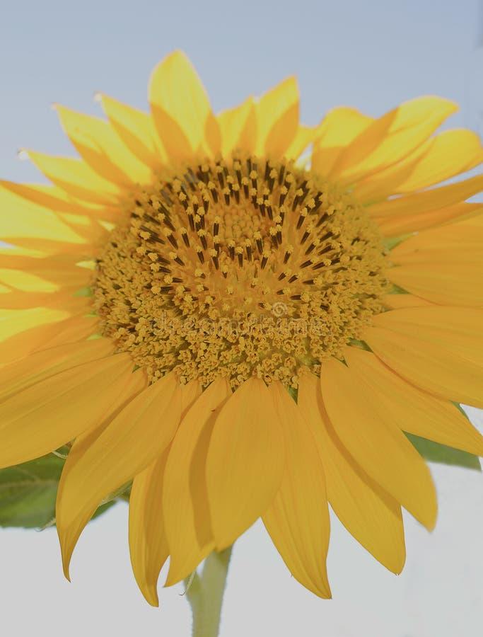 Ciérrese para arriba de un exterior principal del girasol amarillo grande en un día soleado fotografía de archivo libre de regalías