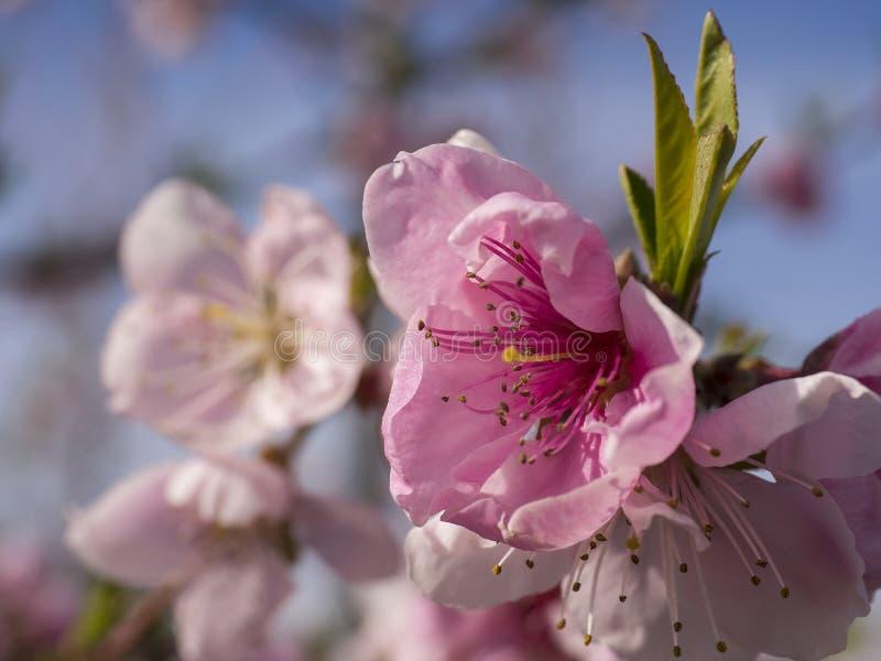 Ciérrese para arriba de un flor del melocotón foto de archivo libre de regalías