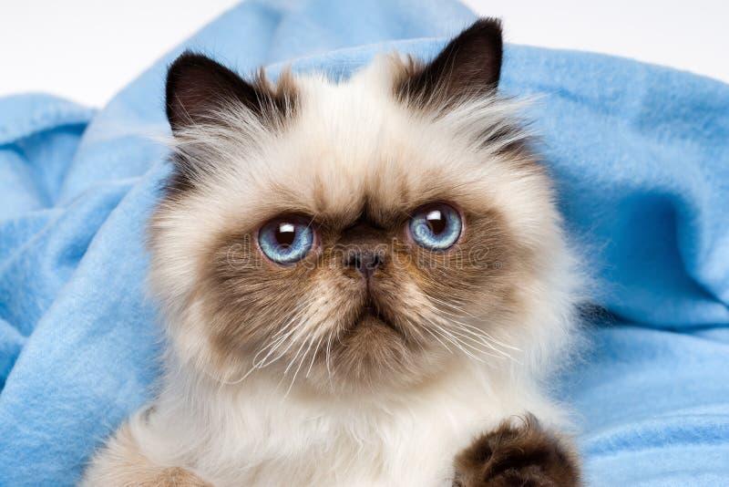 Ciérrese para arriba de un gatito persa joven lindo del colourpoint del sello fotografía de archivo libre de regalías