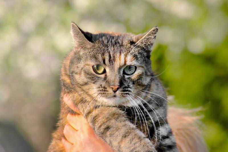 Ci?rrese para arriba de un gato bastante de ojos verdes en las manos de la mujer imagenes de archivo