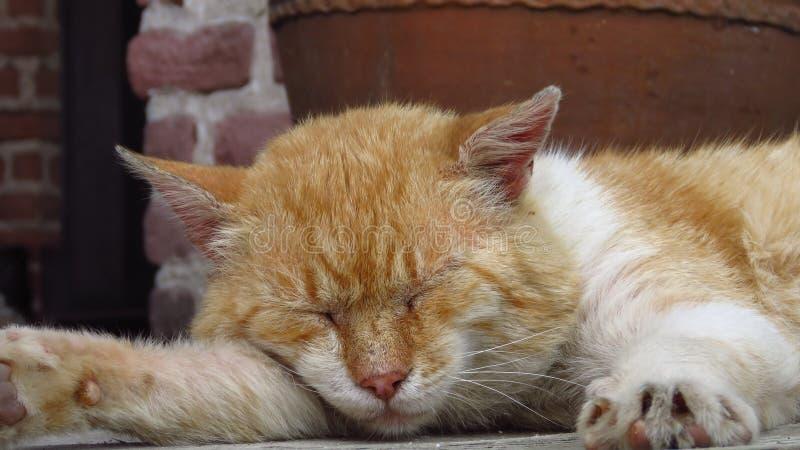 Ciérrese para arriba de un gato perezoso lindo el dormir ¡Oh esos gatos perezosos! foto de archivo