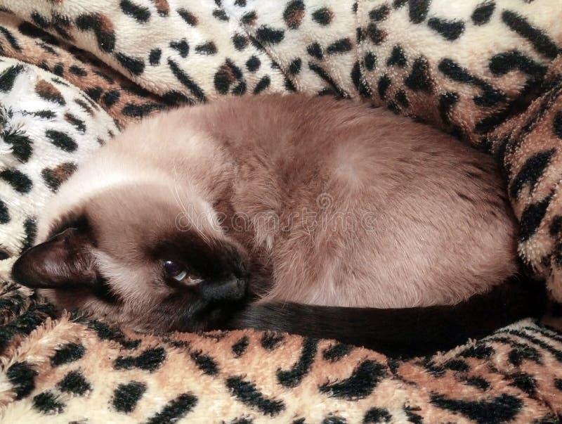 Ciérrese para arriba de un gato siamés de ojos azules lindo que miente en una tela escocesa modelada leopardo mullido Foco select foto de archivo