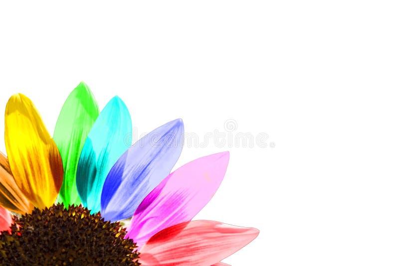 Ciérrese para arriba de un girasol coloreado arco iris fotografía de archivo