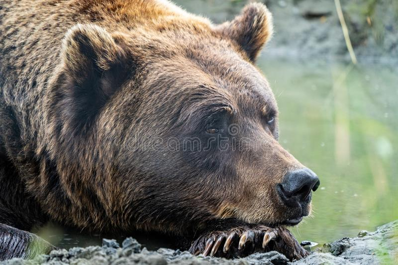 Ciérrese para arriba de un grisáceo de Alaska del oso de Brown que coloca en el agua, mirando la cámara imágenes de archivo libres de regalías