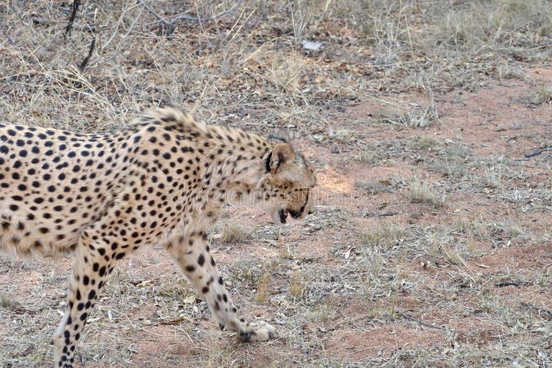 Ciérrese para arriba de un guepardo foto de archivo libre de regalías