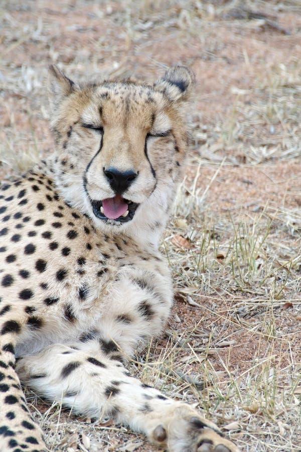 Ciérrese para arriba de un guepardo fotos de archivo libres de regalías