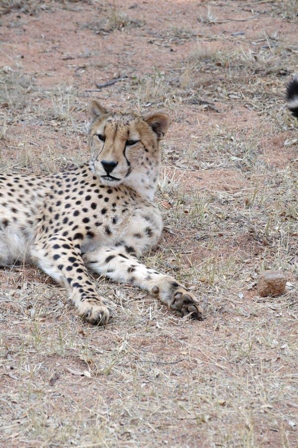 Ciérrese para arriba de un guepardo fotografía de archivo libre de regalías