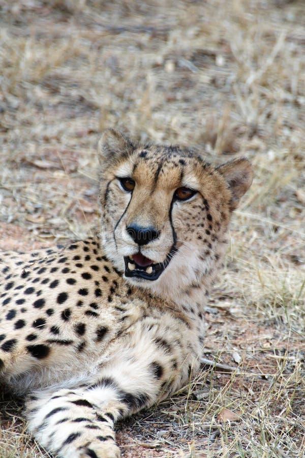 Ciérrese para arriba de un guepardo foto de archivo
