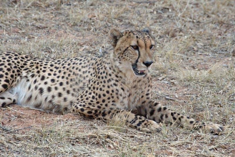 Ciérrese para arriba de un guepardo fotografía de archivo