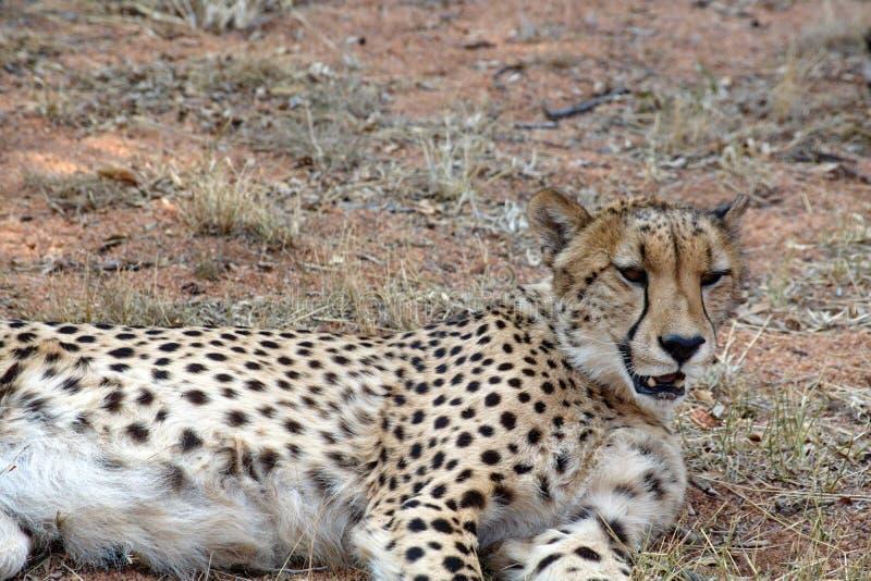 Ciérrese para arriba de un guepardo imagen de archivo libre de regalías