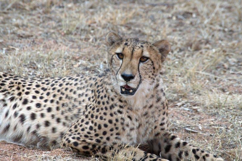 Ciérrese para arriba de un guepardo imagen de archivo