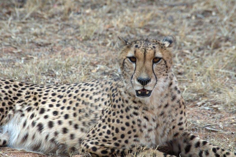 Ciérrese para arriba de un guepardo imagenes de archivo