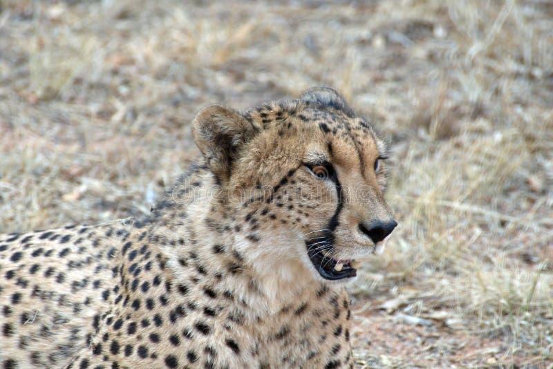 Ciérrese para arriba de un guepardo fotos de archivo