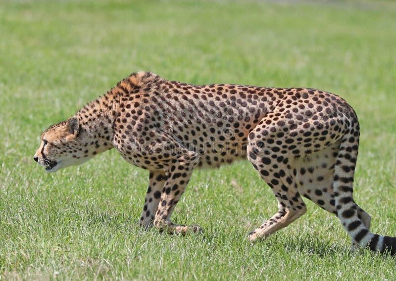 Ciérrese para arriba de un guepardo masculino en el vagabundeo fotos de archivo libres de regalías