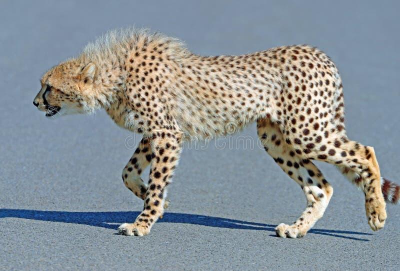 Ciérrese para arriba de un guepardo masculino en el vagabundeo foto de archivo