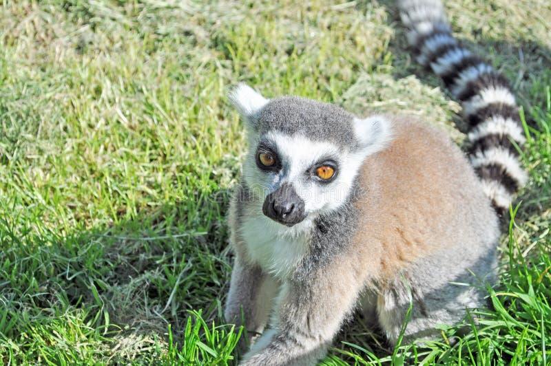 Ciérrese para arriba de un lémur de Madagascar imagen de archivo