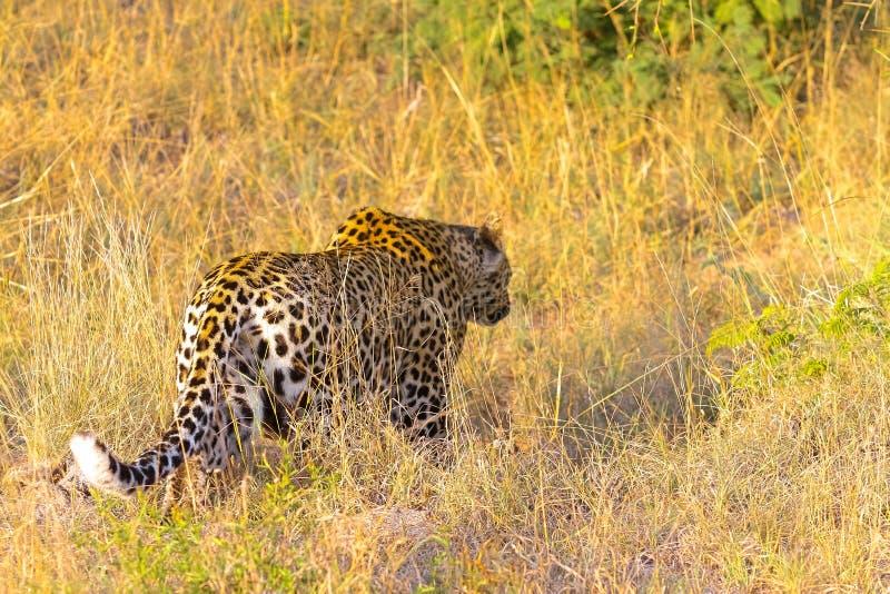 Ciérrese para arriba de un leopardo africano imagen de archivo libre de regalías