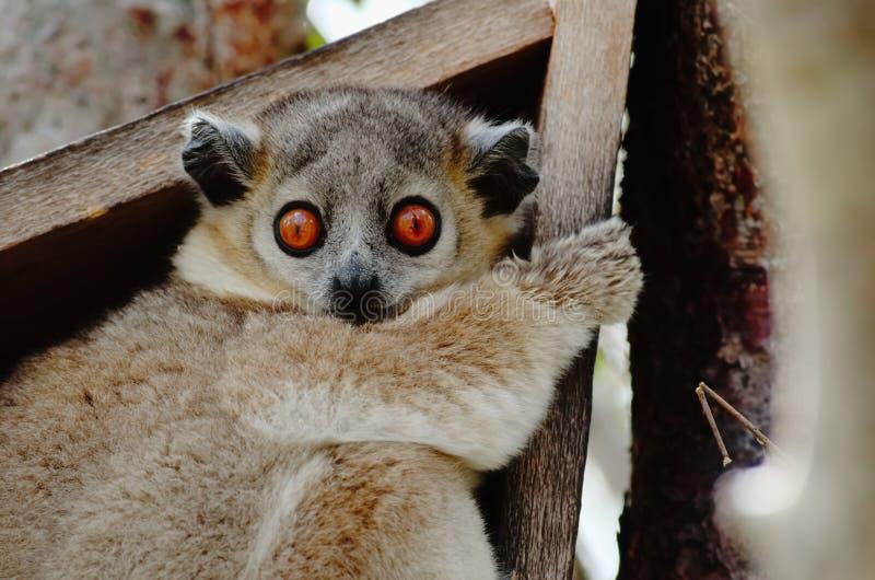 Ciérrese para arriba de un leucopus de Lepilemur, lémur juguetón, asentando en su nidal imagenes de archivo
