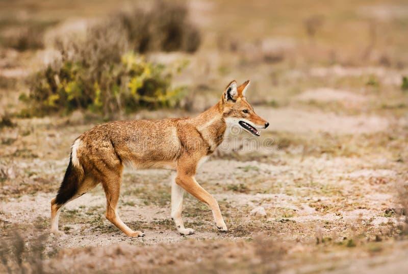 Ciérrese para arriba de un lobo etíope raro y en peligro imágenes de archivo libres de regalías