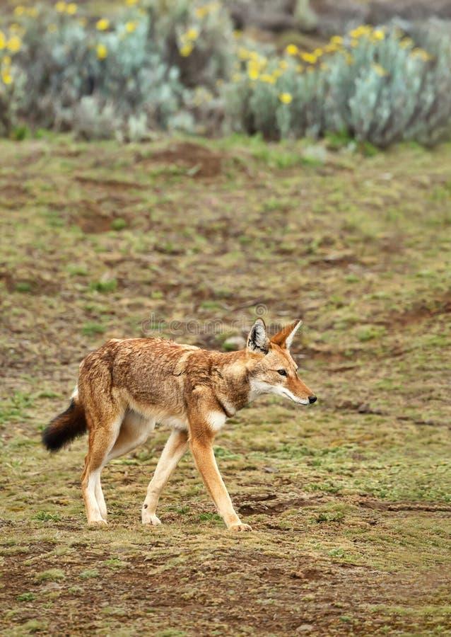 Ciérrese para arriba de un lobo etíope raro y en peligro imagenes de archivo