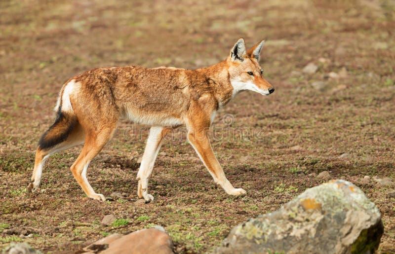 Ciérrese para arriba de un lobo etíope raro y en peligro fotografía de archivo libre de regalías