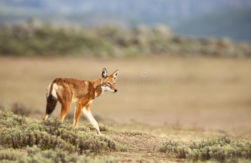 Ciérrese para arriba de un lobo etíope raro y en peligro imagen de archivo libre de regalías