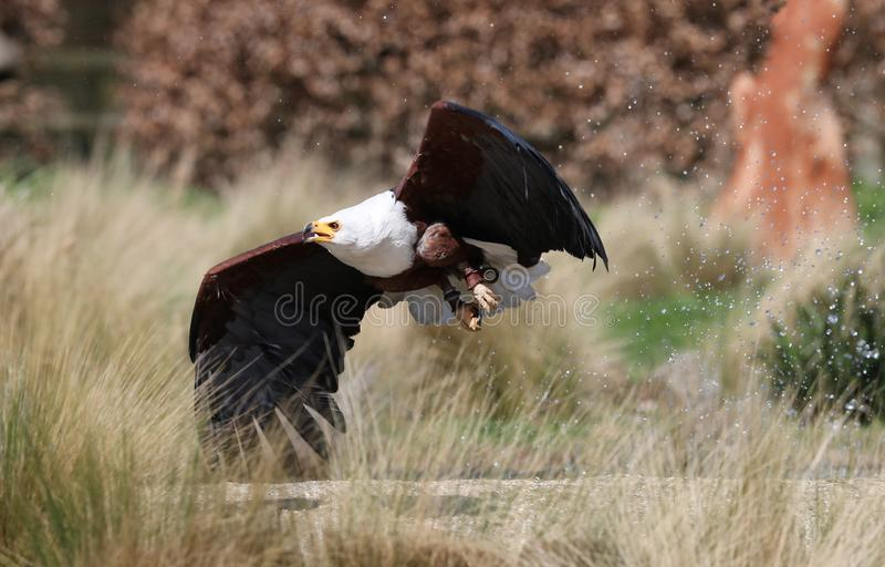 Ciérrese para arriba de un mar Eagle africano swooping abajo fotos de archivo libres de regalías