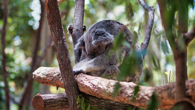 Ciérrese para arriba de un oso de koala lindo que duerme en un árbol imágenes de archivo libres de regalías