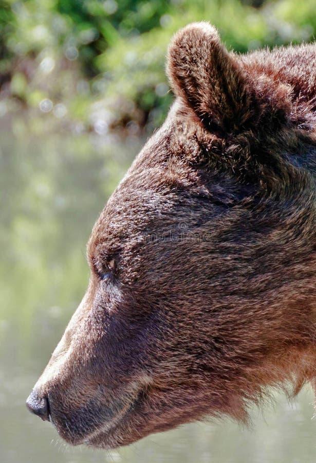 Ciérrese para arriba de un oso marrón imágenes de archivo libres de regalías