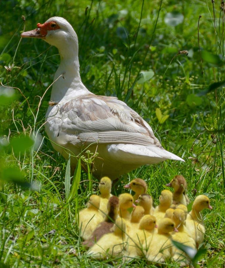 Ciérrese para arriba de un pato de la mamá que lleva sus anadones, fondo verde imagen de archivo libre de regalías