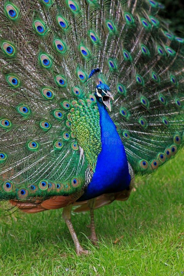 Ciérrese para arriba de un pavo real foto de archivo libre de regalías