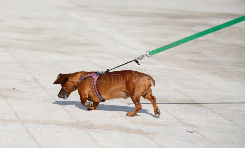 Ciérrese para arriba de un perro basset fotos de archivo