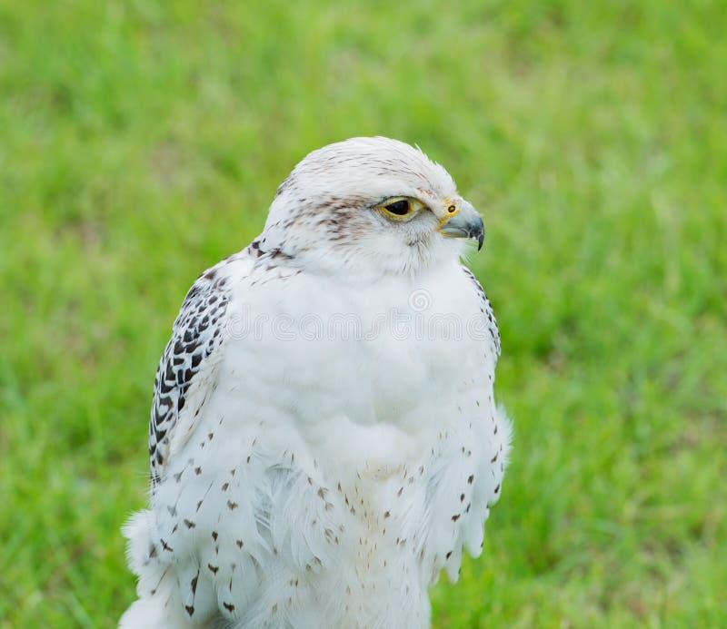 Ciérrese para arriba de un rapaz del halcón de Saker fotos de archivo