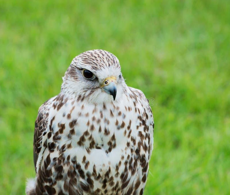 Ciérrese para arriba de un rapaz del halcón de Saker foto de archivo libre de regalías