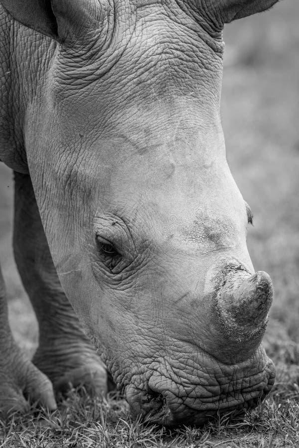 Ciérrese para arriba de un rinoceronte blanco del bebé imagen de archivo libre de regalías