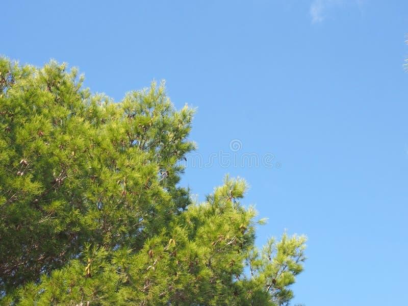 Ciérrese para arriba de un top tropical vibrante verde claro del árbol de pino contra un cielo iluminado por el sol del verano az fotos de archivo