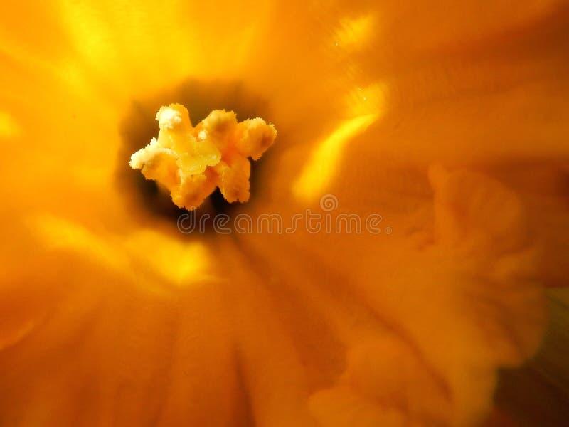 Ciérrese para arriba de un tulipán foto de archivo libre de regalías