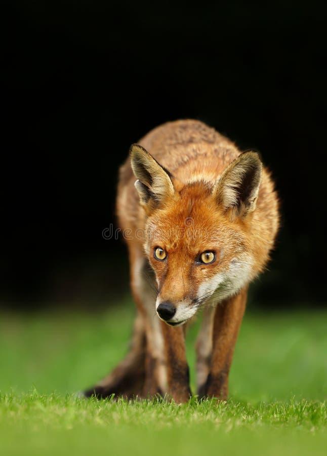 Ciérrese para arriba de un zorro rojo en un prado imagenes de archivo