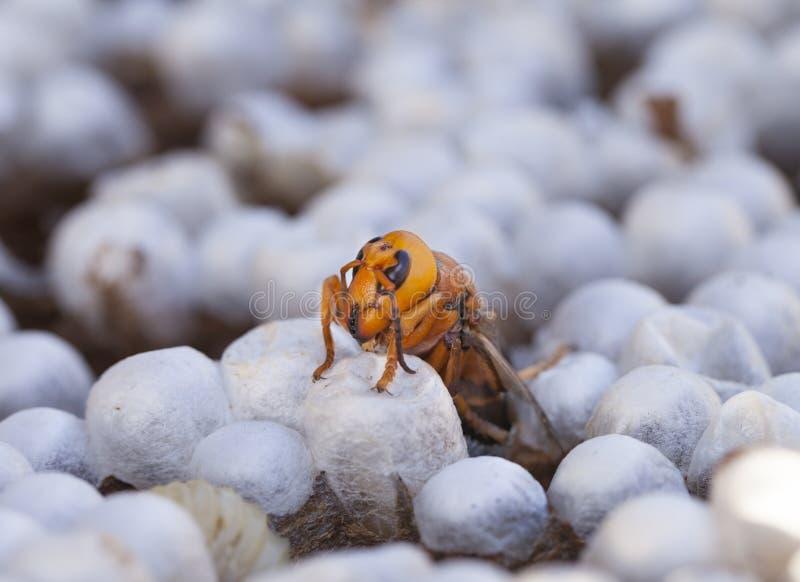 Ciérrese para arriba de una avispa que emerge de las avispas jerarquizan - mostrar el ce vacío fotografía de archivo libre de regalías