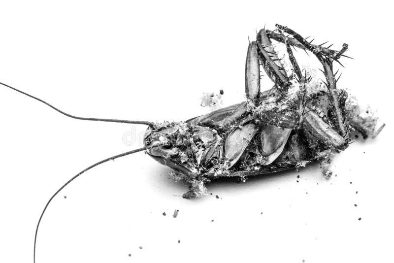 Ciérrese para arriba de una cucaracha de la muerte imágenes de archivo libres de regalías