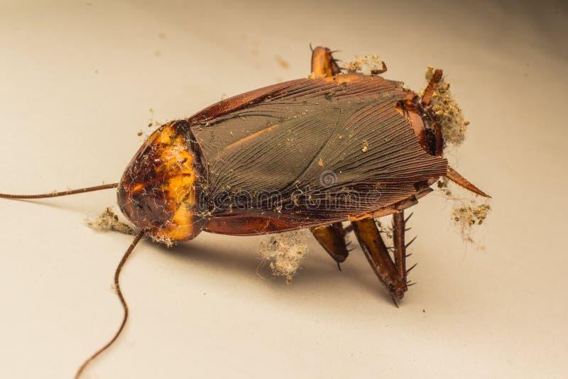 Ciérrese para arriba de una cucaracha de la muerte imagen de archivo libre de regalías
