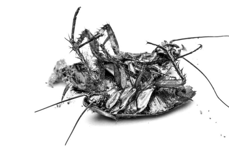 Ciérrese para arriba de una cucaracha de la muerte fotos de archivo libres de regalías