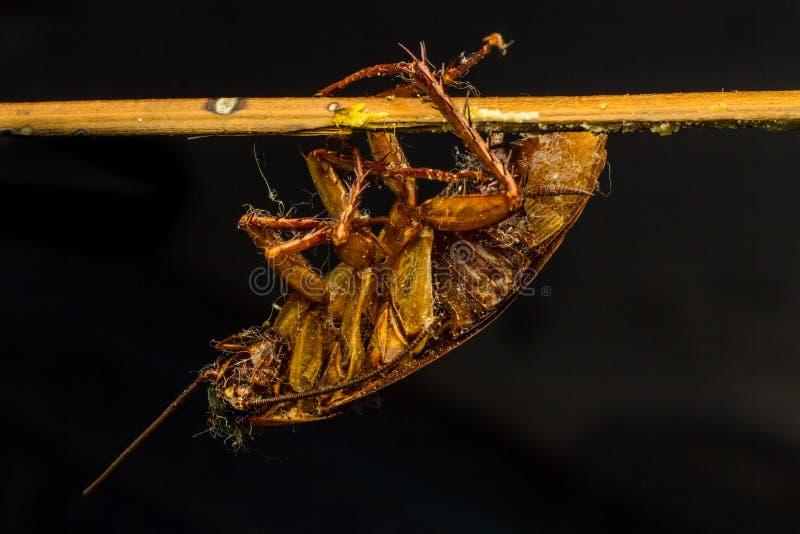 Ciérrese para arriba de una cucaracha de la muerte fotografía de archivo