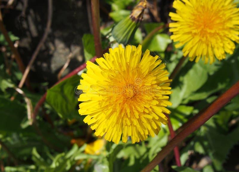 Ciérrese para arriba de una flor amarilla brillante del diente de león en luz del sol brillante contra un fondo borroso de la nat imagen de archivo libre de regalías