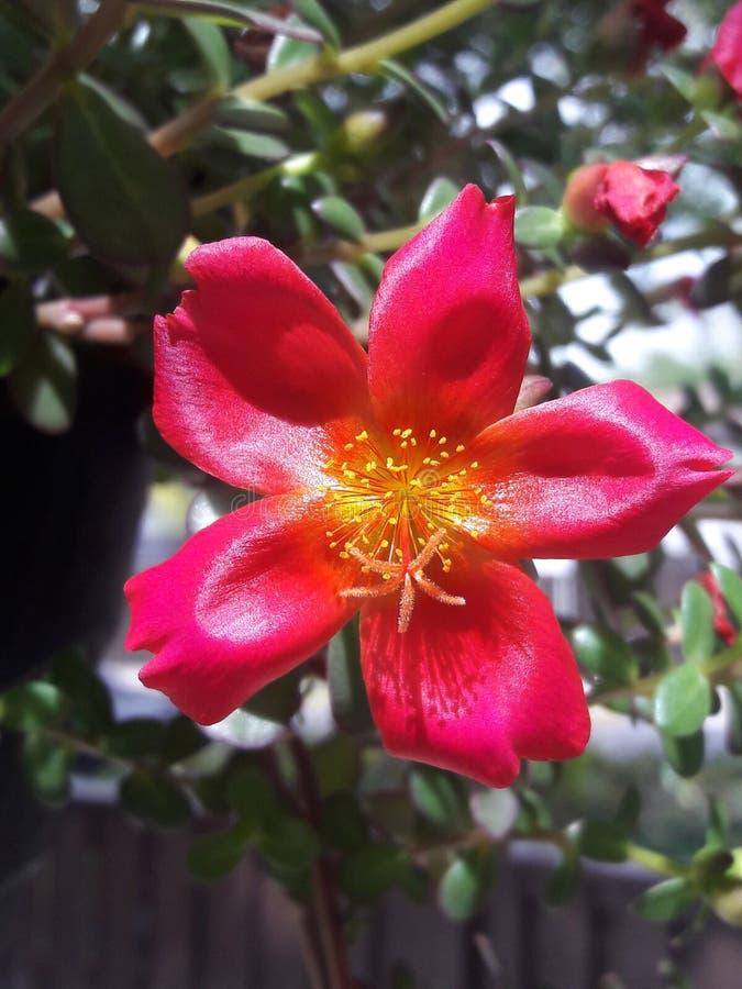 Ciérrese para arriba de una flor del Purslane fotos de archivo
